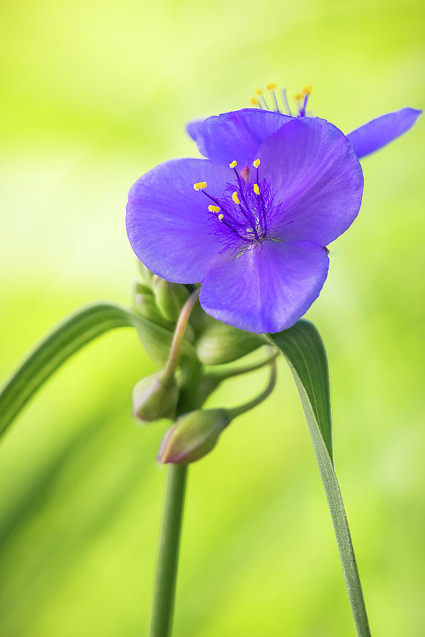 Spiderwort Wildflower by Ron Pate