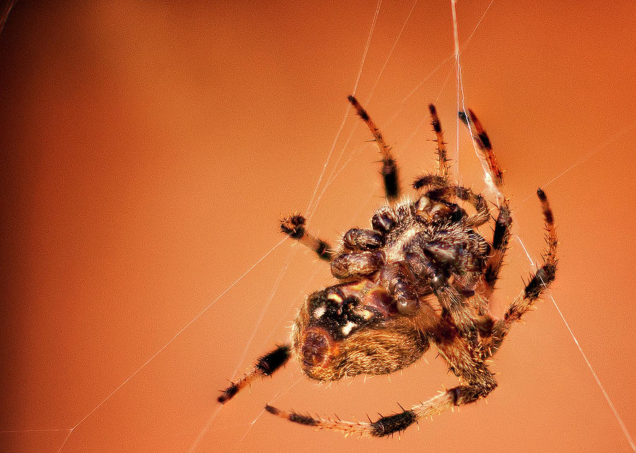 Macro Photograph - Spidey by Luis Cifuentes