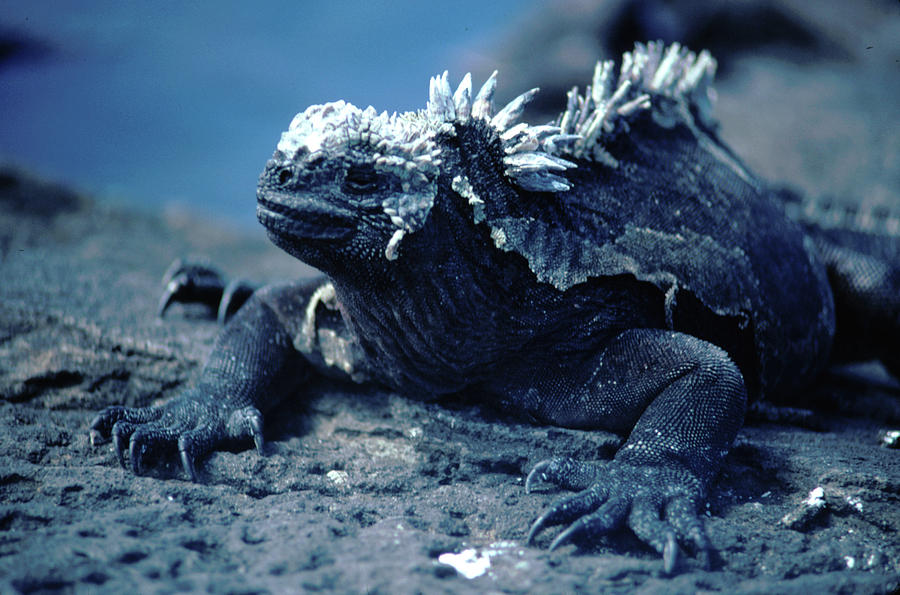 Iguana Photograph - Spike by AJ Harlan