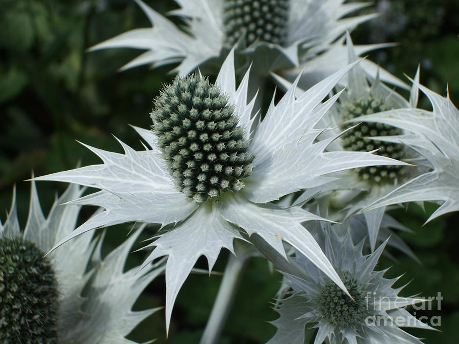 Thistle Photograph - Spikey Silver by Deborah Brewer