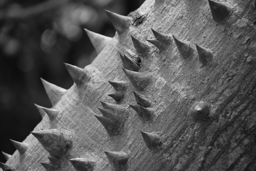 Spike Photograph - Spikey Thorny Tree by Rob Hans