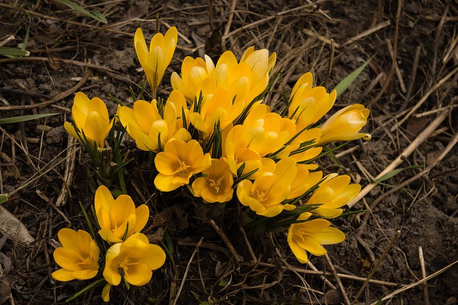 Spilled Gold - Bright Yellow Crocus Harbingers Of Spring Photograph