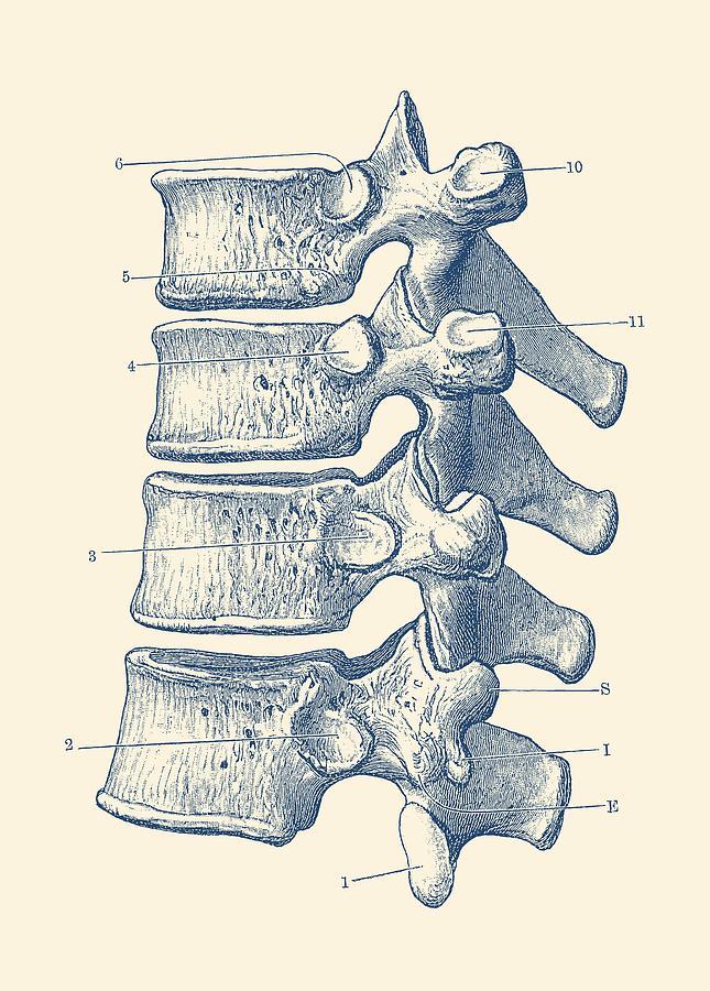 Spinal Cord - Vertebrae View - Vintage Anatomy Print Drawing by ...