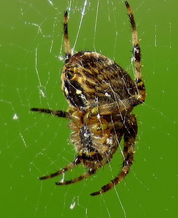 Spider Photograph - Spinning A Web by John Topman