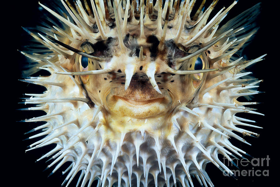 Animal Art Photograph - Spiny Puffer by Dave Fleetham - Printscapes
