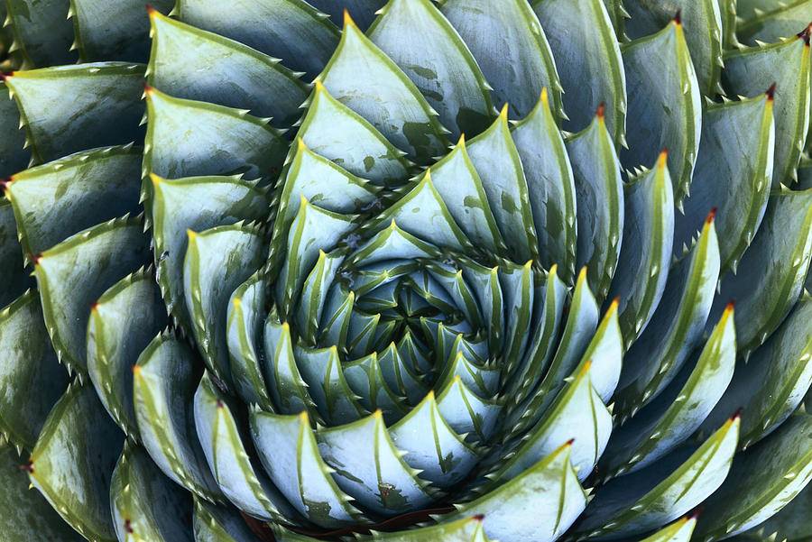 Spiral Aloe by Saxon Holt