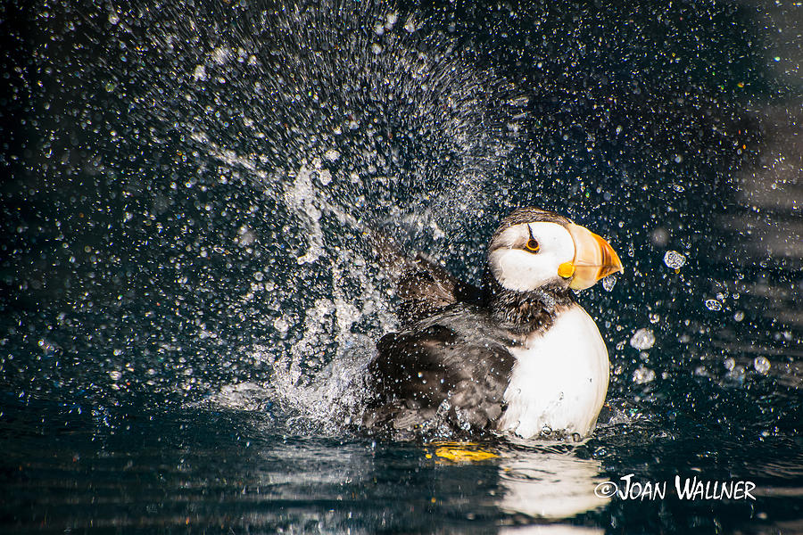 Alaska Photograph - Splish Splash by Joan Wallner