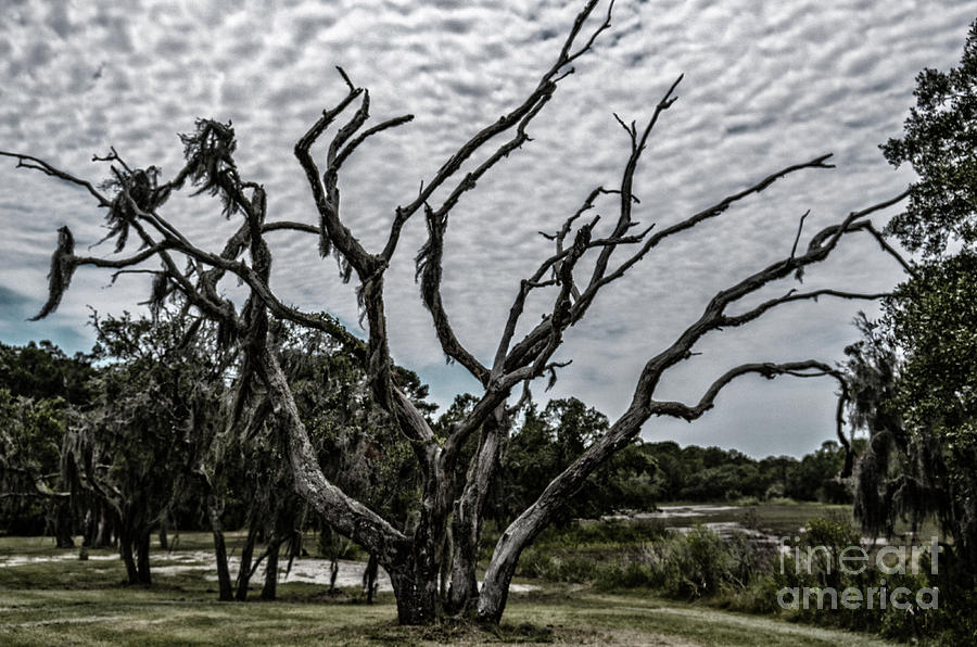 Spooky Tree On Wadmalaw Island Photograph