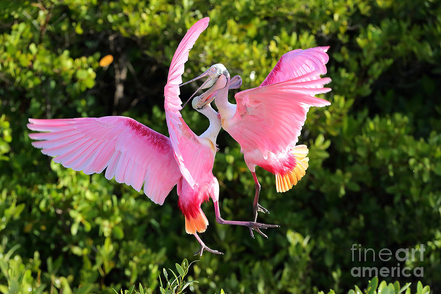 Birds Photograph - Spoonbill Rivals by Rick Mann