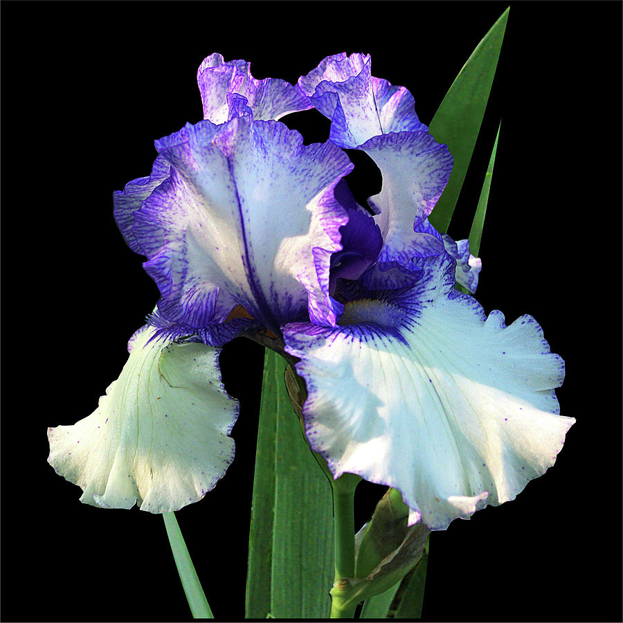 Iris Photograph - Spotlight On freedom Song Bearded Iris by R V James