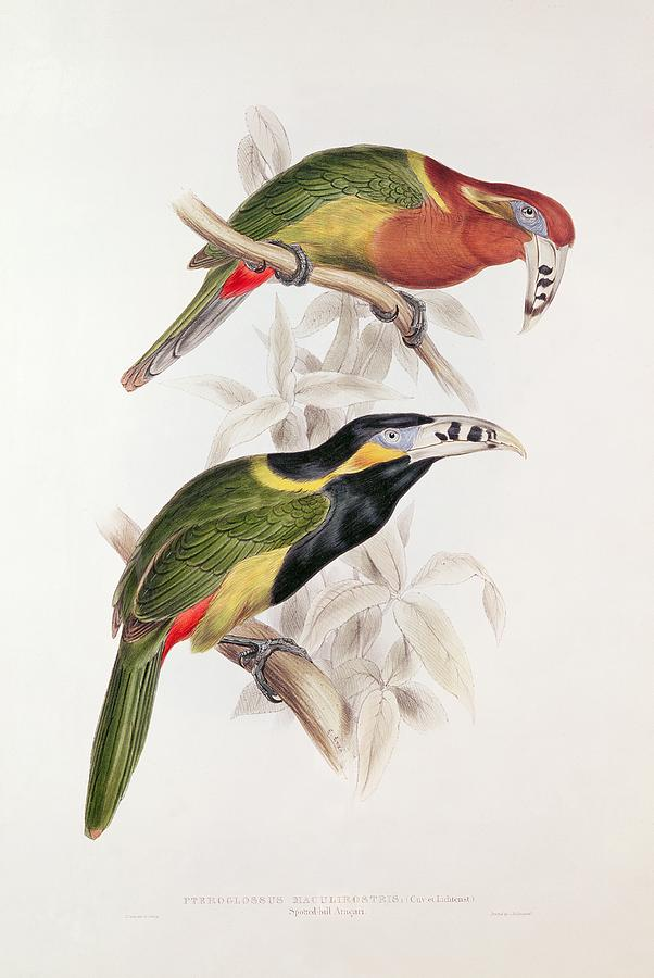 Spotted Painting - Spotted Bill Aracari by Edward Lear