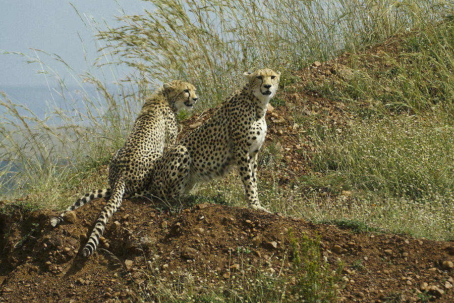 Africa Photograph - Spotted Cats by Michele Burgess