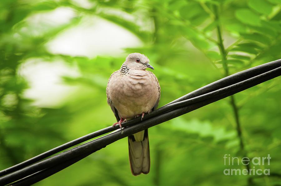 Spotted Dove Photograph - Spotted Dove   by Venura Herath
