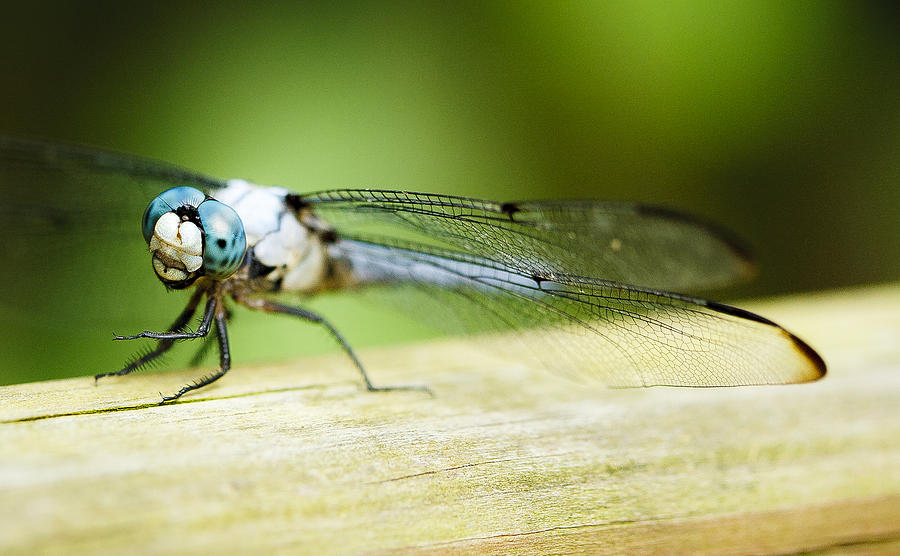 Spotted Dragonfly Photograph