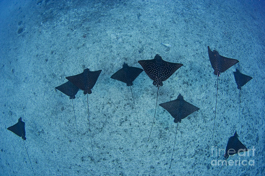 Aetobatus Photograph - Spotted Eagle Rays by Dave Fleetham - Printscapes