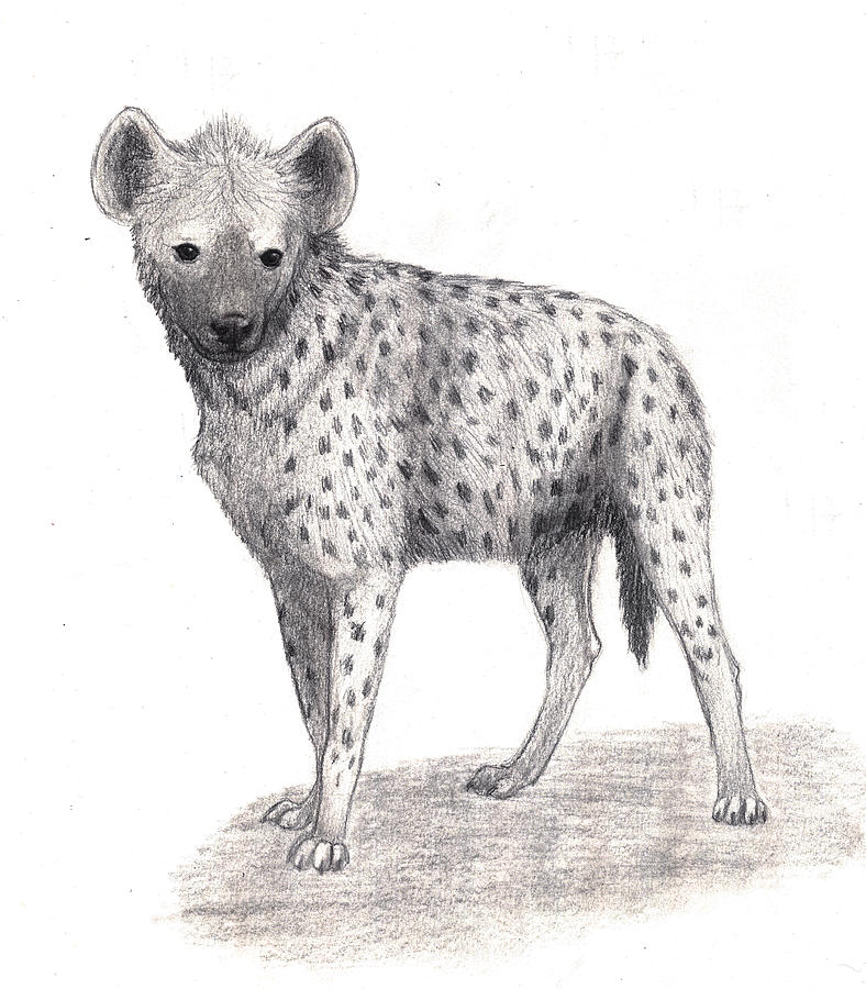 hyena drawing spotted hyena by shelley ohlinger