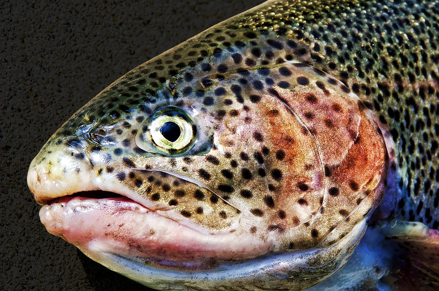 Fish Photograph - Spotted by Kelley King