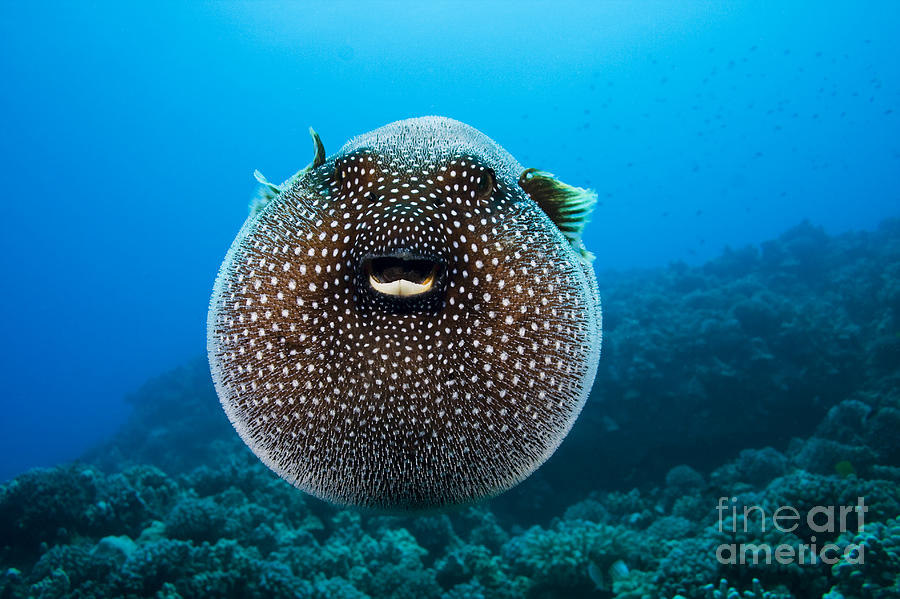 Arothron Photograph - Spotted Pufferfish by Dave Fleetham - Printscapes