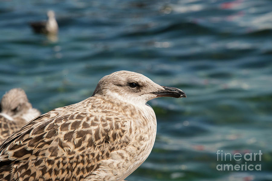 Princes Islands Photograph - Spotted Seagull by Bob Phillips