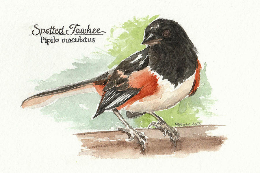 Birds Painting - Spotted Towhee by Rowena Finn