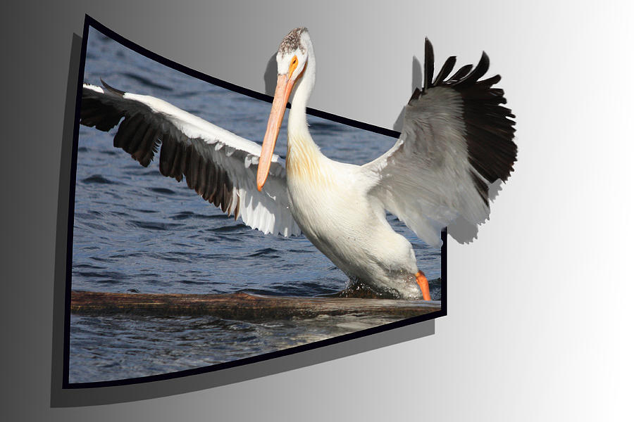 Pelican Photograph - Spread Your Wings by Shane Bechler