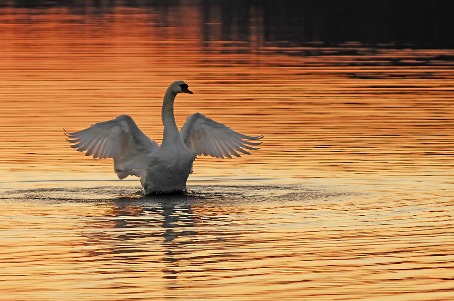 Swans At Dawn Photograph - Spreading Her Wings In Gold by Randall Branham