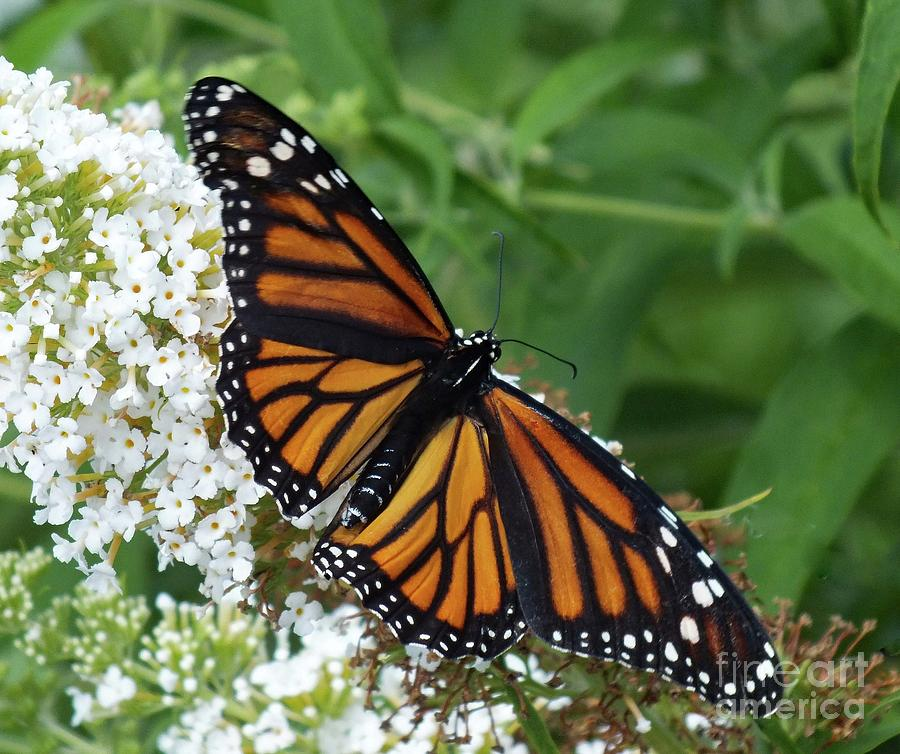 Spreading Her Wings - Monarch Photograph