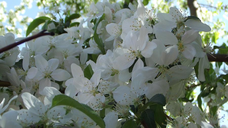 Spring Apple Blosoms Photograph