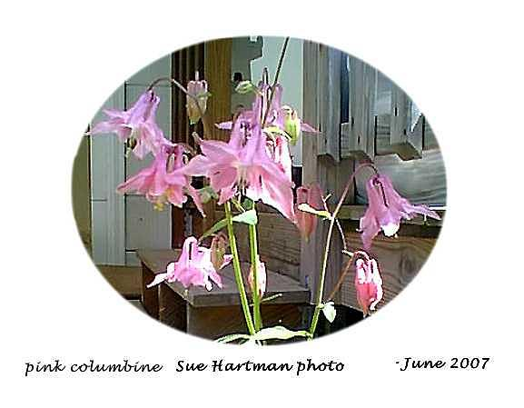 Spring Beauties Photograph by Sue Hartman