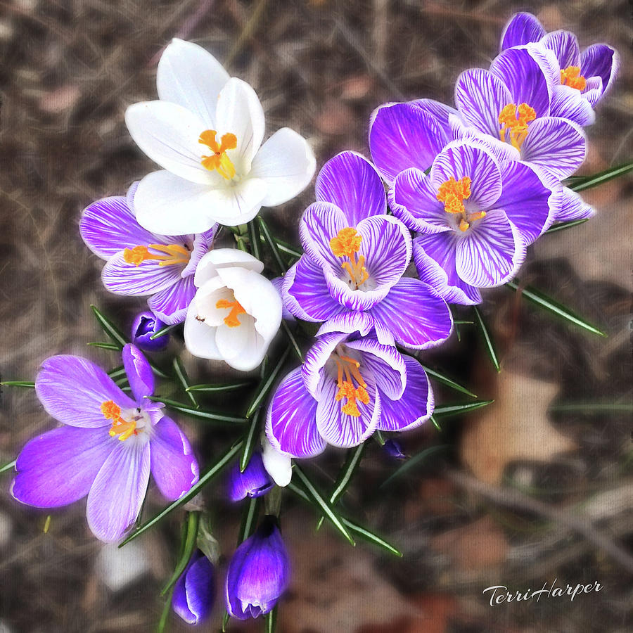 Spring Beauties by Terri Harper