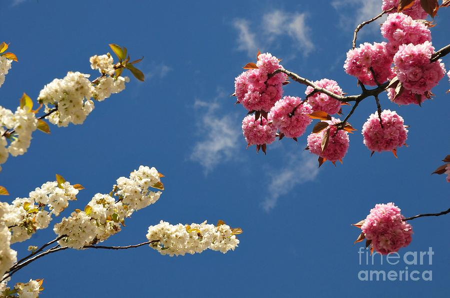 Sakura Photograph - Spring Bloom by Akshay Thaker- PhotOvation