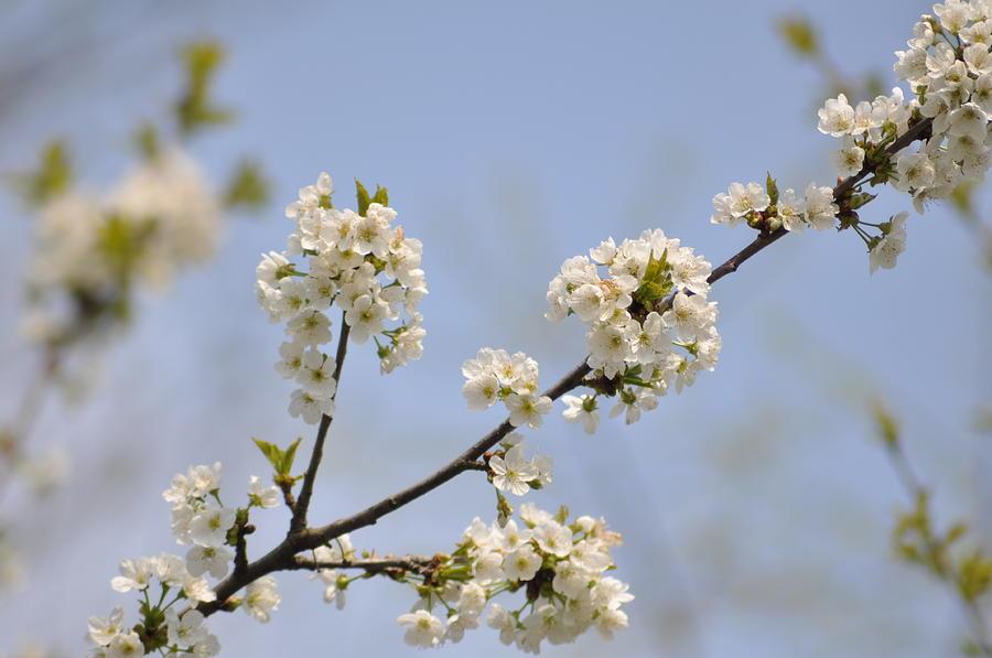 Spring Photograph - Spring Blossom by Gwen Allen