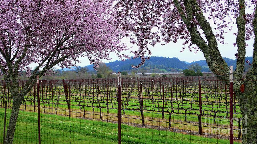 Calistoga Photograph - Spring Blossoms Near Calistoga by Charlene Mitchell