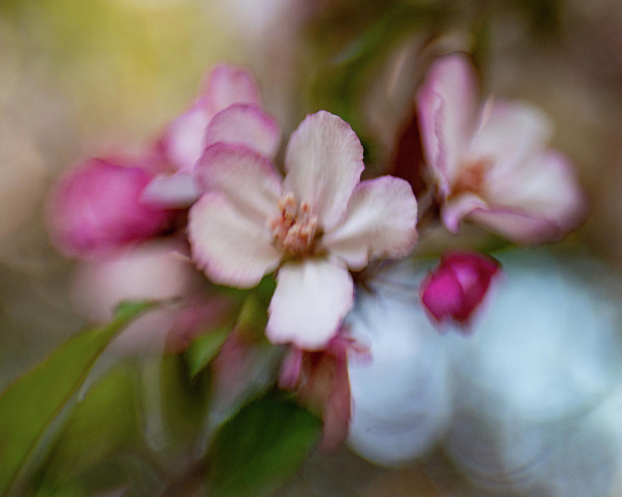 Spring Blossoms by Pamela Taylor