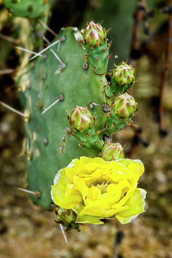 Spring Cactus V14 Photograph