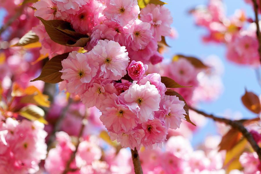 Spring Cherry Blossom by Gavin Bates