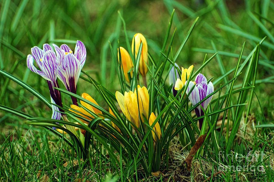 Crocus Photograph - Spring Colors by Edward Sobuta