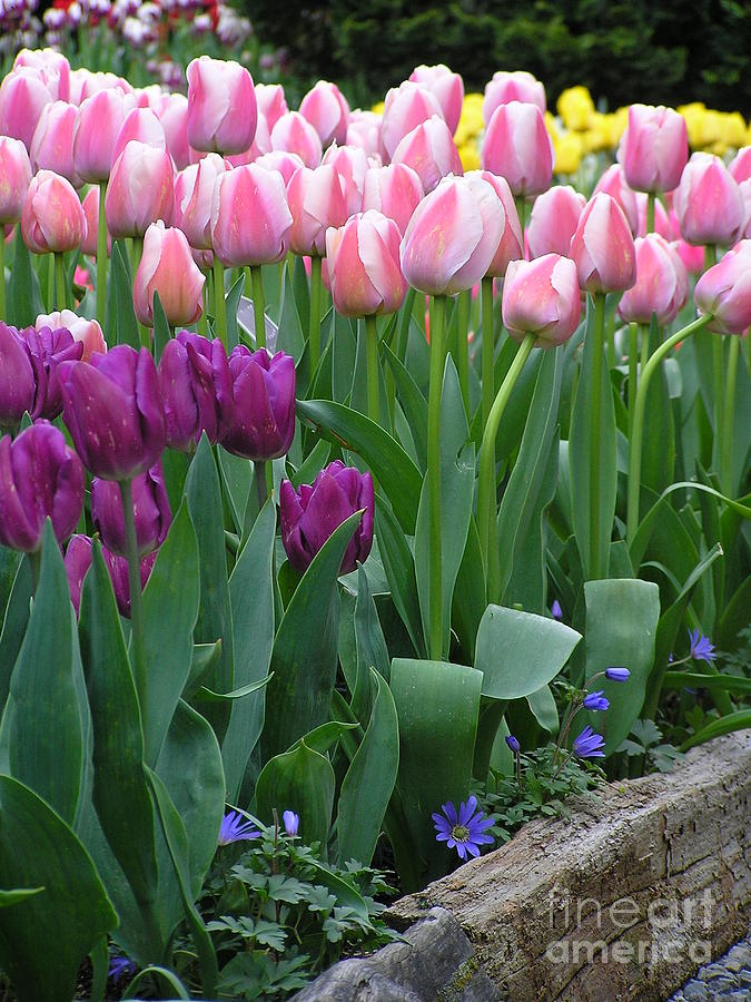 Tulips Photograph - Spring Colors by Louise Magno