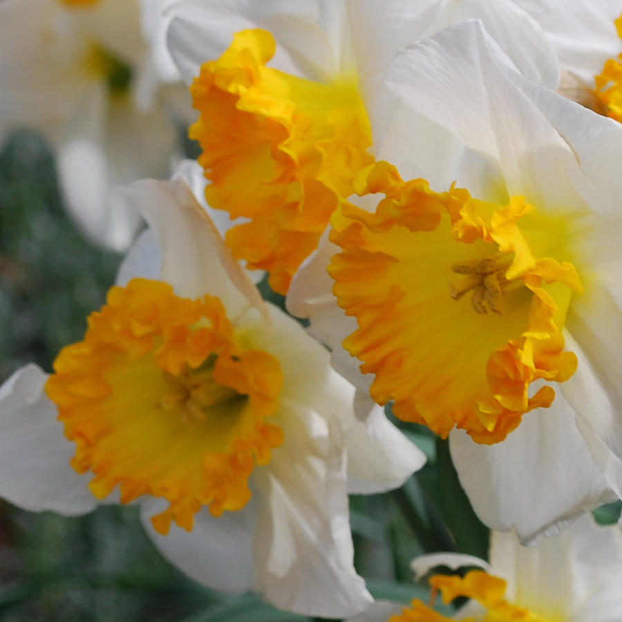 Daffodils Photograph - Spring Daffodils by Linda Sramek