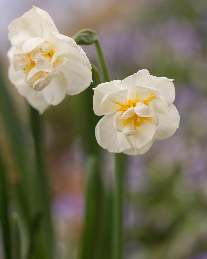 Daffodil Photograph - Spring Dance by Julie Andel