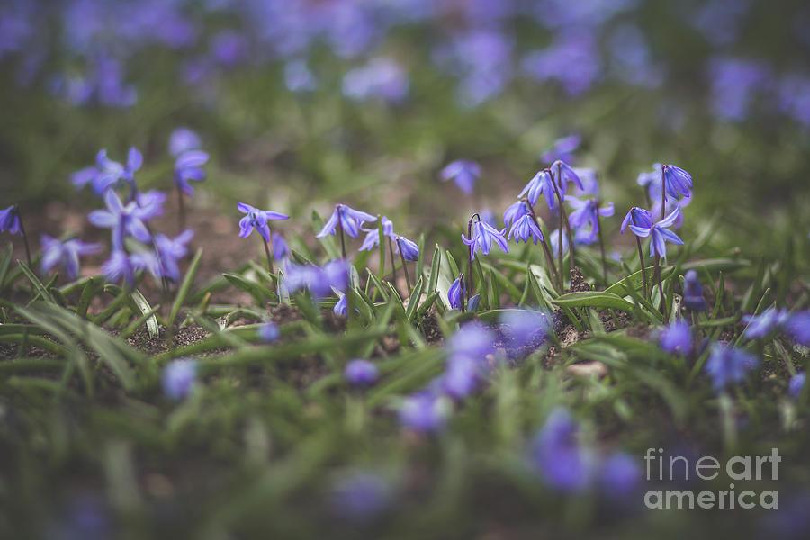 Spring Flowers - Scilla by Viviana Nadowski