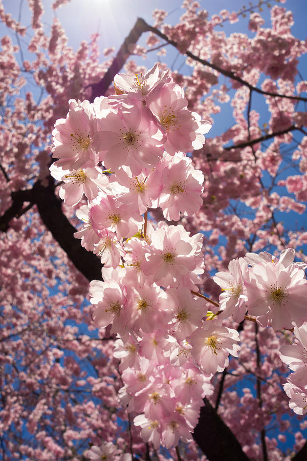 Spring Galore - Pink Cherry Blossoms Photograph