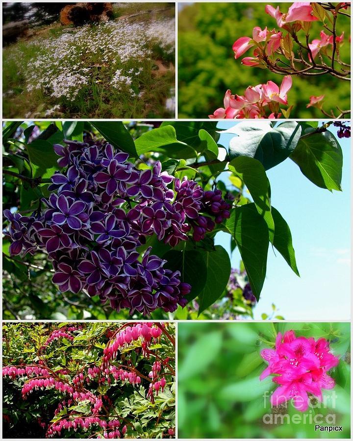 Lilacs Photograph - Spring Glory by Priscilla Richardson
