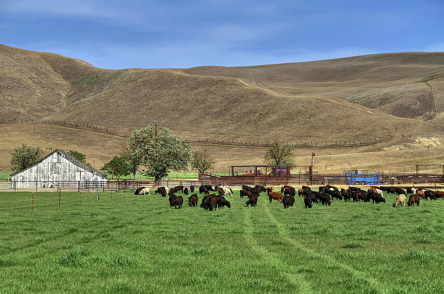 Cows Photograph - Spring Grazing by Donna Kennedy