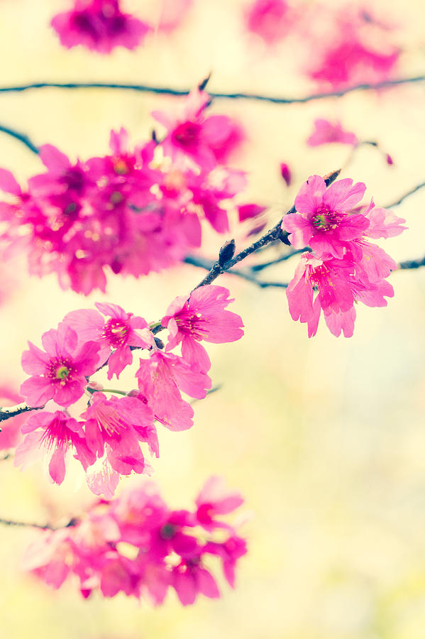 Cherry Photograph - Spring Magic by Julie Andel