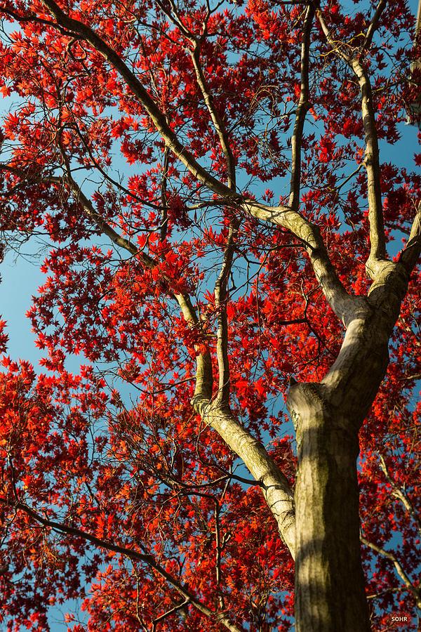 Spring Maple by Dana Sohr