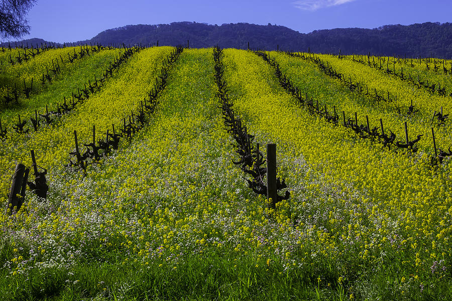 Blooms Photograph - Spring Mustard Field by Garry Gay