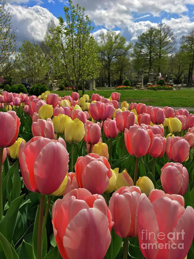 Spring pink and yellow tulips in Tower Grove Park portrait by Debbie Fenelon