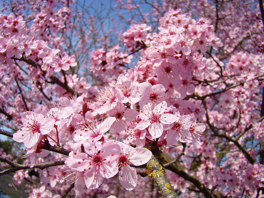 Spring Pink Tree Blossoms Art Print Baslee Troutman Photograph By