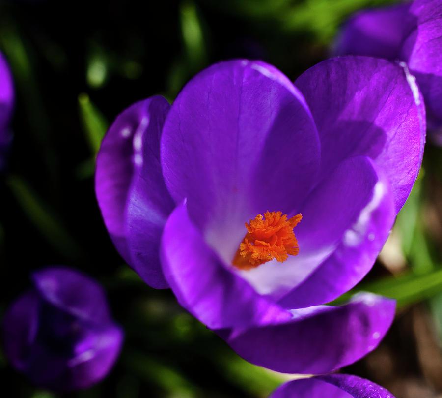 Crocus Photograph - Spring Pollen by ShaddowCat Arts - Sherry